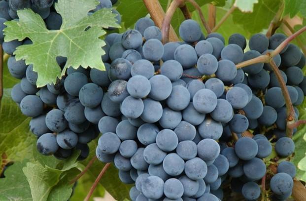Venta Vino a Granel. Venta de Vino D.O. Ribera del Duero.