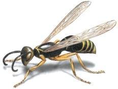 Avispas. Eliminación de avispas y avisperos