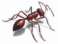 Hormigas rojas. Tratamientos contra hormigas rojas
