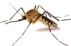 Mosquito anófeles. Eliminación de mosquito anófeles