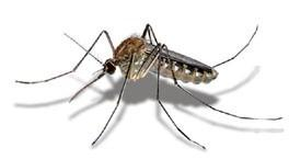 mosquito zancudo.