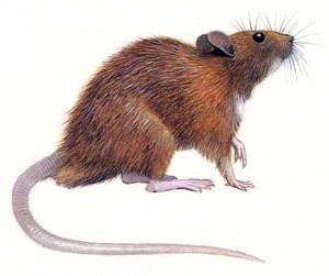 Rata de alcantarilla. Eliminación de ratas de alcantarilla