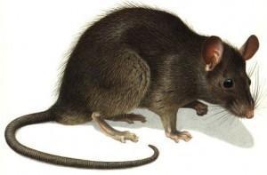 Rata negra. Desratización de rata negra