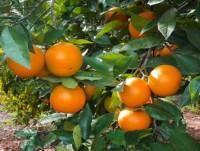Naranjas Navelina