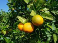 Para bares Mandarina clementina orova