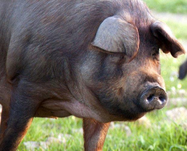 Carne de Cerdo Ibérico.Cerdos