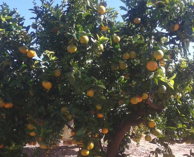 Mandarinas.Gran parte de nuestra producción se desarrolla en régimen de producción integrada