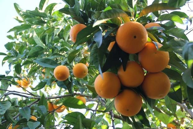 Naranjas. Naranjas de la variedad Salustiana.