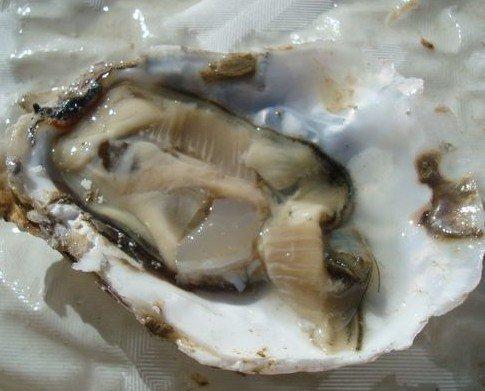 Pescado y Marisco. Ostras Frescas. Se alimentan sólo de fito plancton.