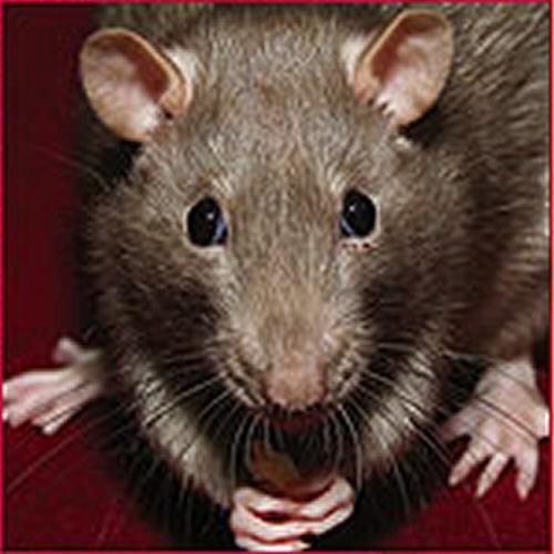 Desratización. Control de plagas de ratas y ratones.