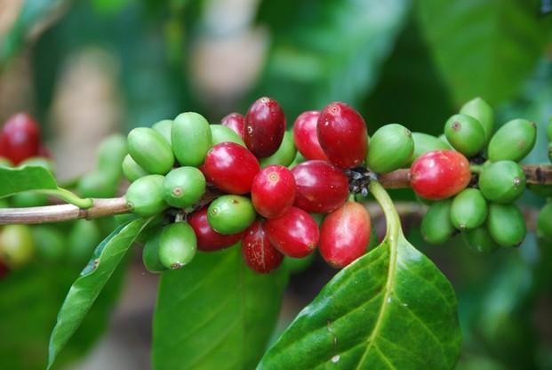 Fruto del  café. Café en grano