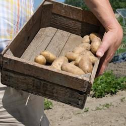 Patatas.Patatas, cebollas y ajo.