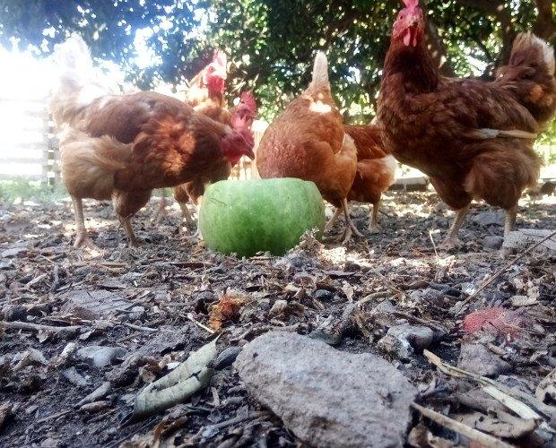 Huevos Frescos Ecológicos.Comiendo sandia fresquita de la propia finca.
