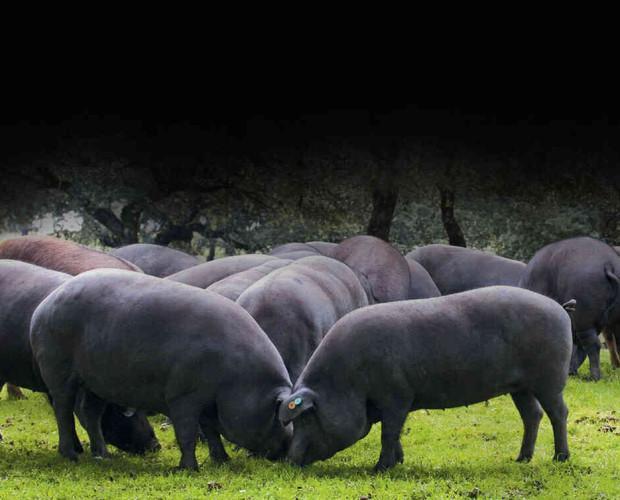 Jamón Ibérico. Paleta Ibérica. Las mejores razas de cerdo