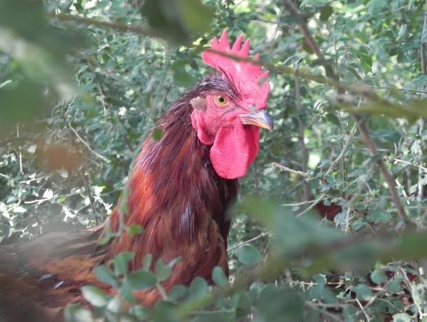 Carne de Aves. Pollo. Pollos de corral del Montseny, vista al exterior