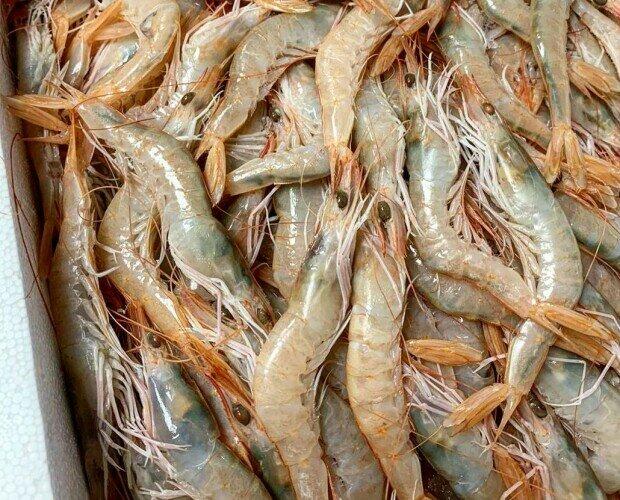 Gamba Blanca de Huelva. Gambas blancas de Huelva de calibre XL unas 70 piezas kilo.
