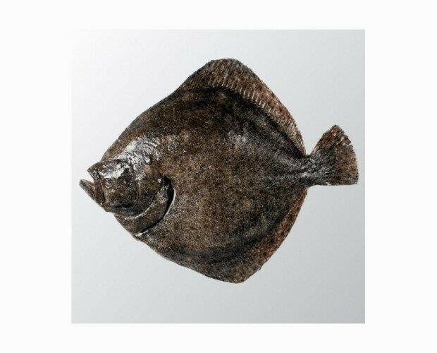 Rodaballo de Costa. Uno de los mejores y más sabrosos pescados de nuestras costas