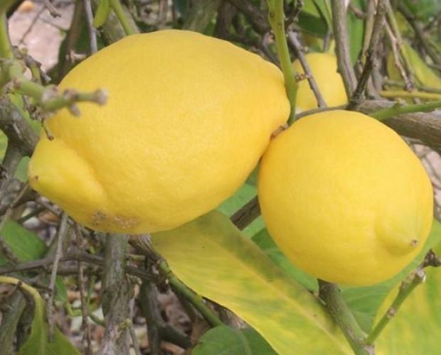 Limones.Proveedores de limones