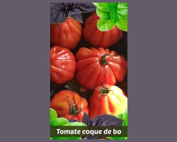 Tomate coque de bo. La mejor selección de tomates coque
