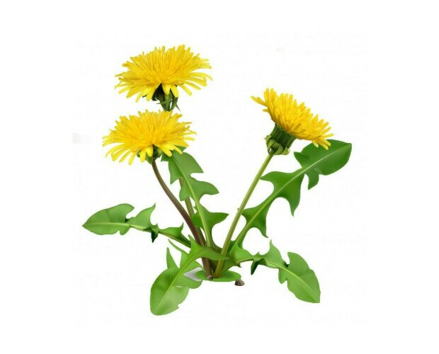 Diente de León. Es una especie de flor perteneciente a la familia asteráceas