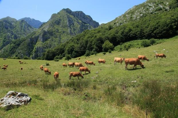 Nuestra ganadería. Nuestras vacas nordrizas pastando en picos de Europa.